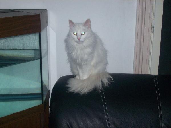 angora chat blanc