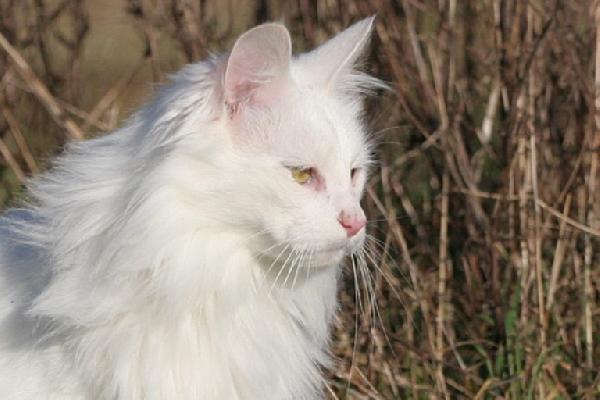 Les chats angora sont de magnifiques chats de race. Celui,ci à une robe blanche immaculée et une collerette très fournie. On peut voir son œil vert très