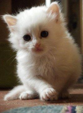 bébé chaton blanc