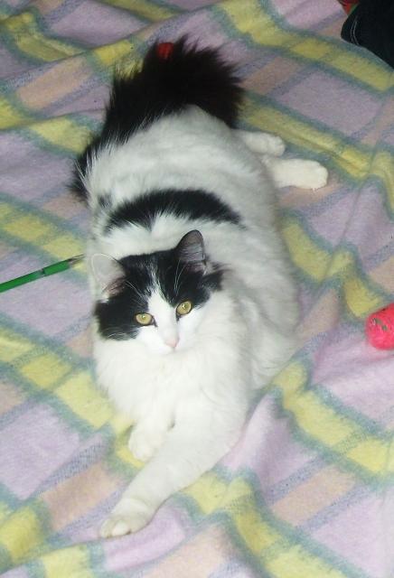 chat angora blanc et noir