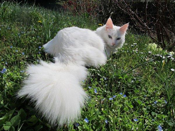 chat angora de turquie