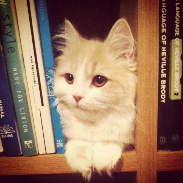 chat bibliothèque