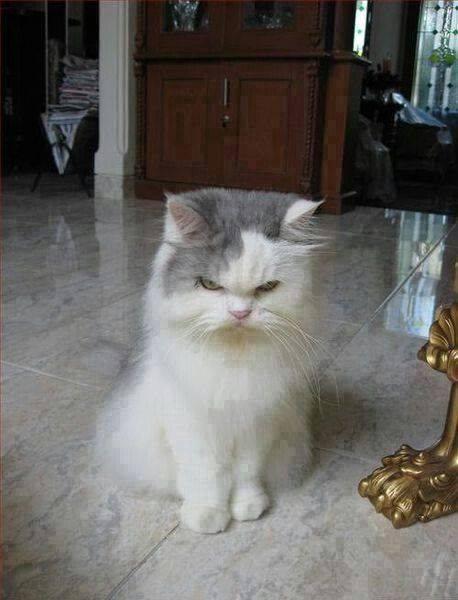 chat bougon