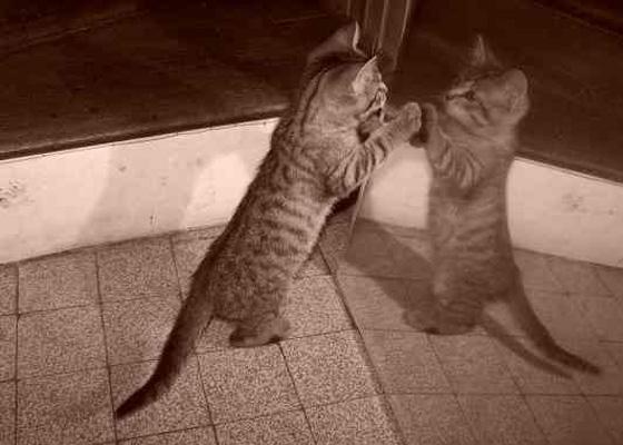 chat devant miroir