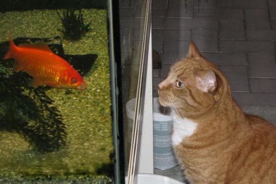chat et aquarium