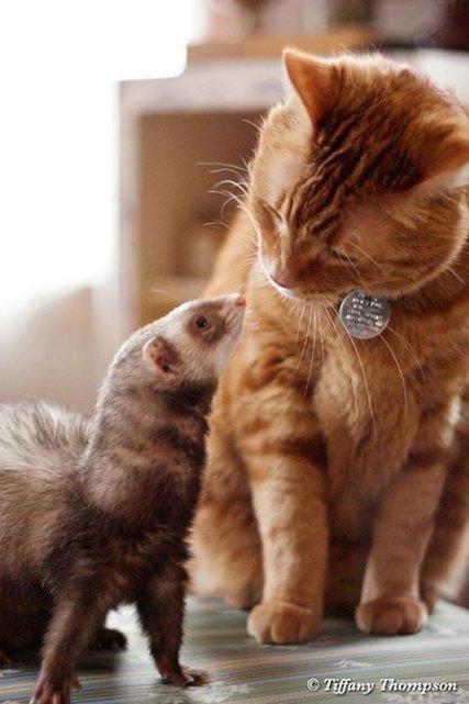 chat et belette