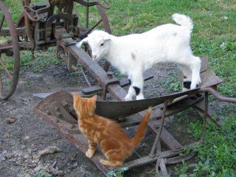chat et biquette