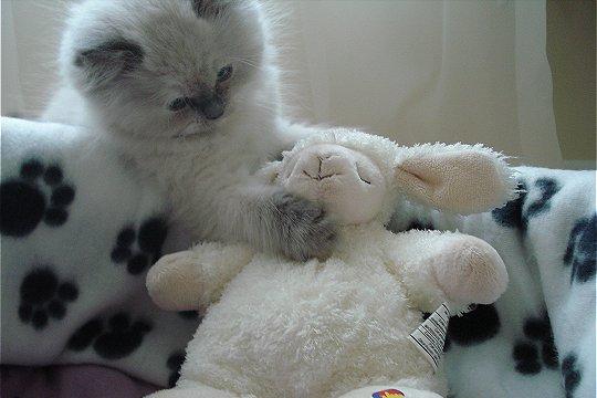 chat et sa peluche