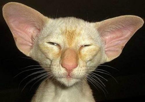 Ce chat est vraiment étonnant, et il faut avouer quil ressemble plus à un gremlins quà un petit félin. Ce sont surtout ses grandes et larges oreilles,