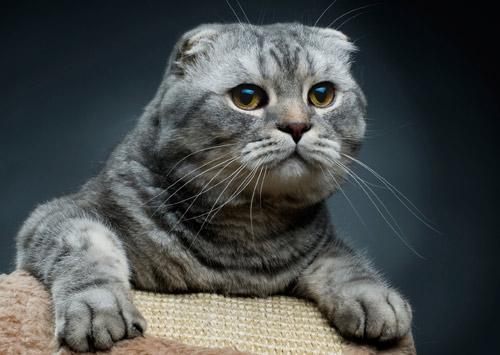 Ce chat fait partie de la race scotish fold. Sa principale caractéristique  c\u0027est d\u0027avoir deux toutes petites oreilles recourbées vers l\u0027avant.
