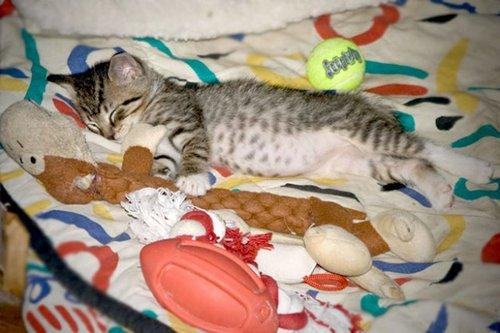 Chat qui dort avec son doudou chat en plein r ve sur chat - Chat qui dort sur son maitre ...