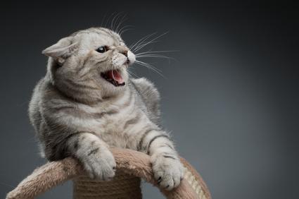 chat qui grogne