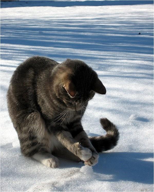 Ce petit chat gris tigré ne semble pas du tout indisposé par le froid de la  neige. Au contraire il semble aimer le contact de cette drôle de matière  qui lui