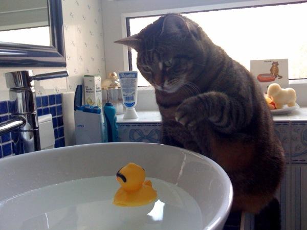 chat qui veut jouer