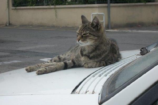 chat sur capot