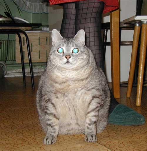 chat surpoids