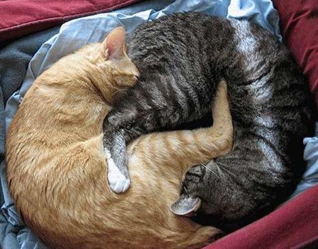 Ces deux chats roux et gris dorment ensemble dans la même couche, mais pour plus de sérénité pendant leur sommeil,