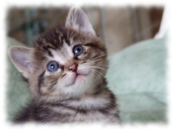 chateau yeux bleux chaton sur chat. Black Bedroom Furniture Sets. Home Design Ideas