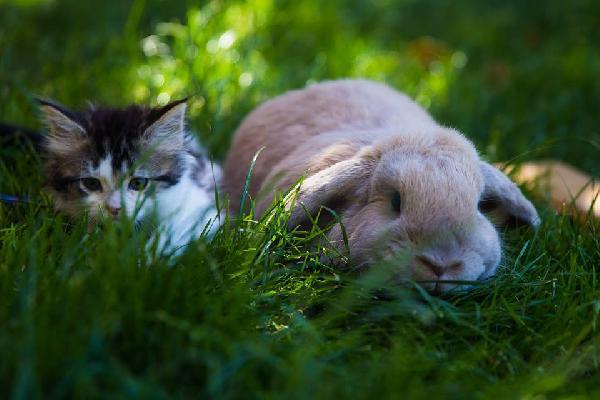 chaton et lapin