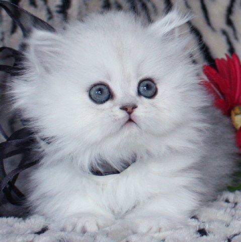 chaton mignon blanc chaton sur chat. Black Bedroom Furniture Sets. Home Design Ideas