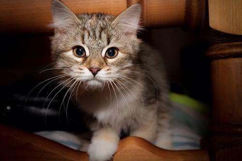 chaton moustache