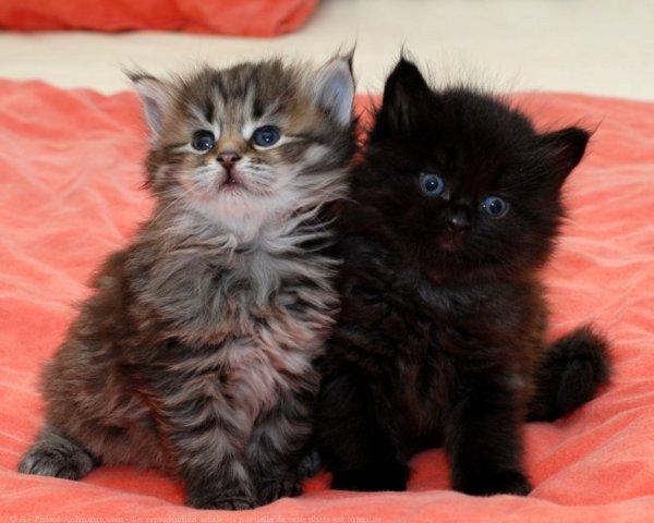 Chaton noir et gris chaton sur chat - Chat tout mignon ...