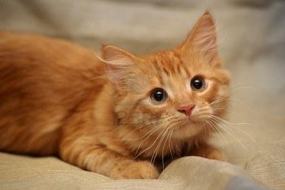 Ce petit chaton semble particulièrement impressionné par la chose quil est en train de regarder. Il nen demeure pas moins superbe, on apprécie beaucoup le