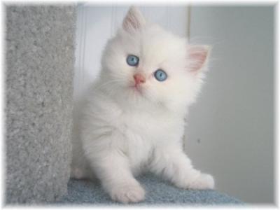 Chaton tout blanc chaton sur chat - Chat tout mignon ...