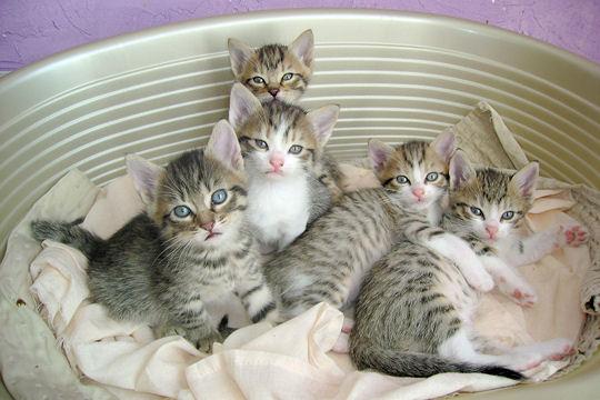 Ces cinq petits chatons sont particulièrement beaux. Ils se ressemblent  vraiment beaucoup et si leurs pelages ne sont pas totalement identiques,