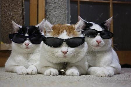 Il ny a rien à dire, ces trois chats ont vraiment un look denfer. Et ce grâce aux lunettes de soleil très branchées quils se sont mis sur le bout du nez.
