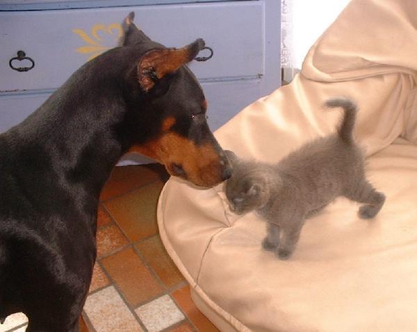 Doberman et chaton
