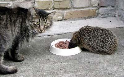 Hérisson et chat