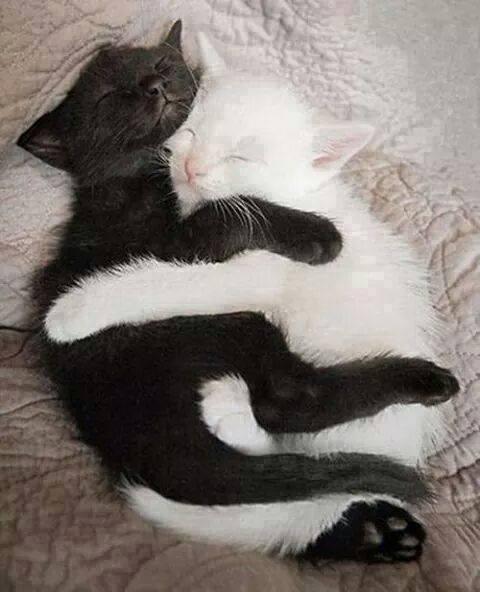 Enlacés comme pour former à eux deux le fabuleux symbole du yin et du yang,  ces deux tout jeunes chatons dorment profondément et en toute quiétude.