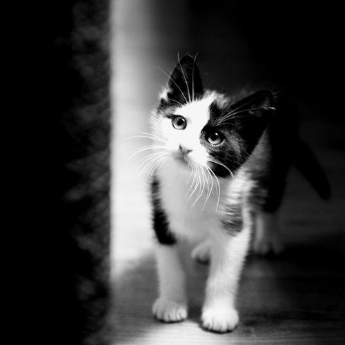 Certaines personnes aiment les chats tout blancs, d\u0027autre les chats tout  noirs, mais on ne peut qu\u0027adorer aussi les chats noir et blanc.