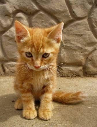 Ce petit chaton tigré roux parait tout timide, ou alors il est simplement impressionné par ce drôle dobjet quest lappareil photo quil a devant lui.