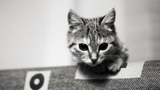 photo chaton noir et blanc chaton sur chat. Black Bedroom Furniture Sets. Home Design Ideas
