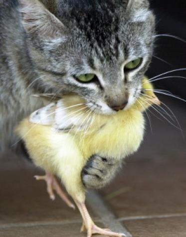 Poussin et chaton chat et autres animaux sur chat - Chat tout mignon ...