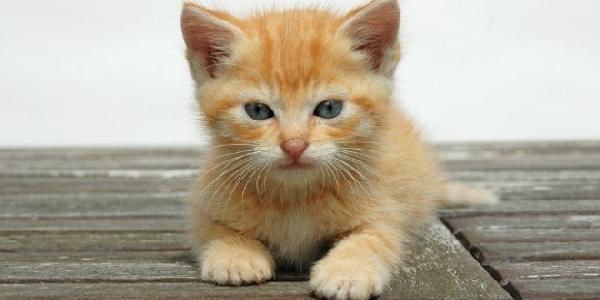 Roux chat , Chaton sur Chat,Mignon.com